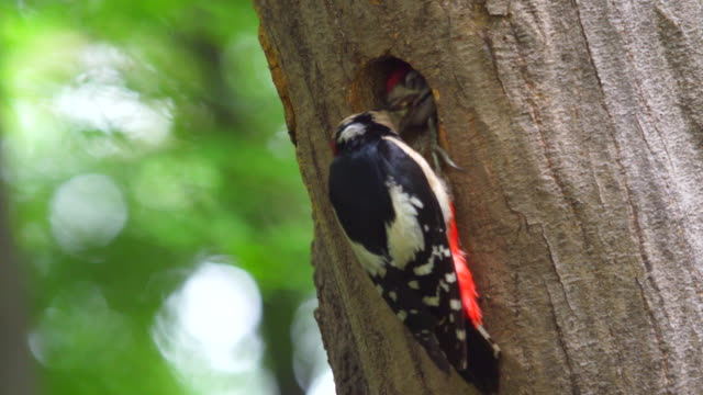 male great spotted woodpecker feeding its baby - bird's nest stock videos & royalty-free footage