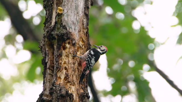 male great spotted woodpecker pecking on a tree - woodpecker stock videos & royalty-free footage