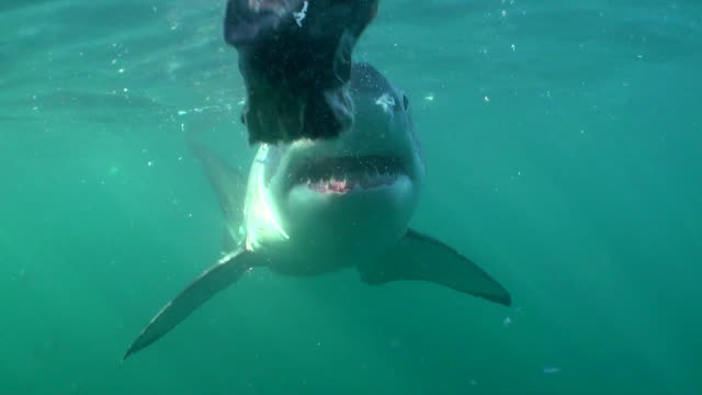 Male great white shark swims in close to the cage with it's mouth open, Seal Island, False Bay, South Africa.