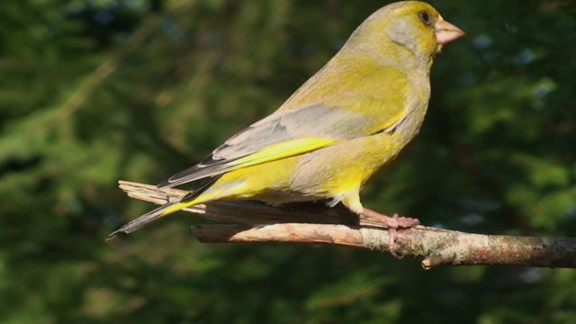 male green finch - songbird stock videos & royalty-free footage