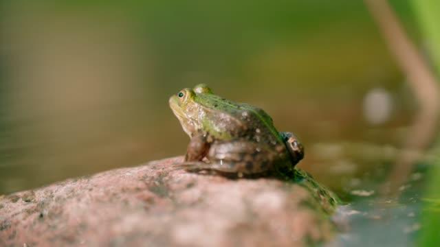 vídeos y material grabado en eventos de stock de rana verde macho llamando con sacos vocales inflados - rana