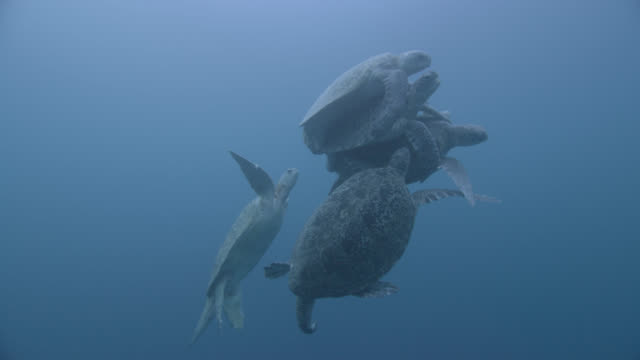 vídeos de stock e filmes b-roll de male green sea turtles (chelonia midas) compete to mate with female, sipadan, malaysia - cinco animais