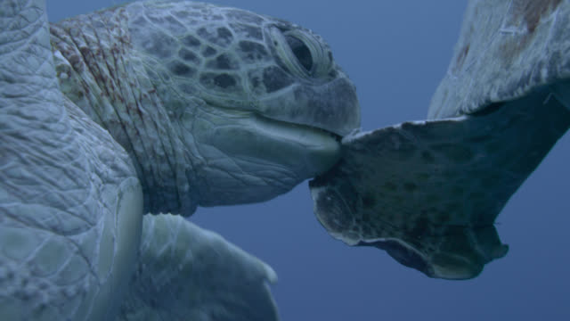 male green sea turtles (chelonia midas) compete to mate with female, sipadan, malaysia - animal fin stock videos and b-roll footage