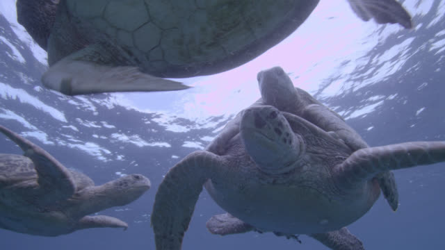 male green sea turtles (chelonia midas) compete to mate with female, sipadan, malaysia - small group of animals stock videos & royalty-free footage