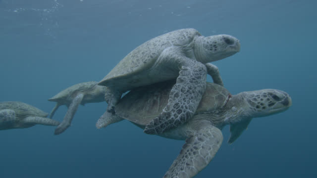 stockvideo's en b-roll-footage met male green sea turtles (chelonia midas) compete to mate with female, sipadan, malaysia - schildpad