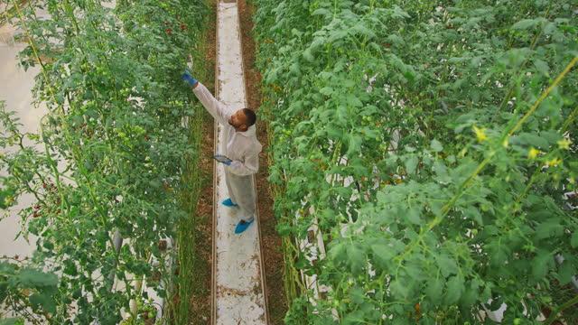 ハイテク温室のトマト植物を見ているcs男性温室技術者 - グリーンハウス点の映像素材/bロール