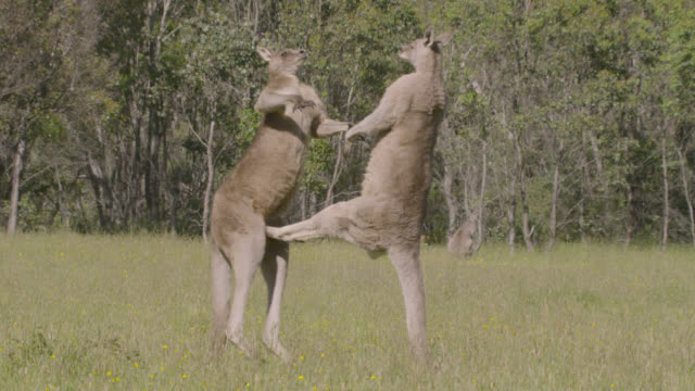 vídeos de stock e filmes b-roll de male grey kangaroos fight in meadow, australia - grupo pequeno de animais