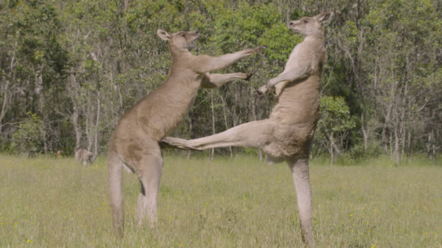 male grey kangaroos fight in meadow, australia - drei tiere stock-videos und b-roll-filmmaterial