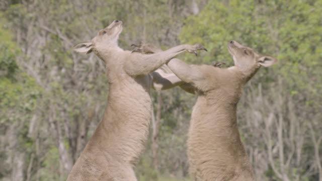 male grey kangaroos fight in meadow, australia - カンガルー点の映像素材/bロール