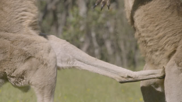 vídeos de stock, filmes e b-roll de male grey kangaroos fight in meadow, australia - marsupial