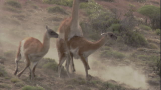male guanacos fight to mate with a female. available in hd. - aggression stock videos & royalty-free footage