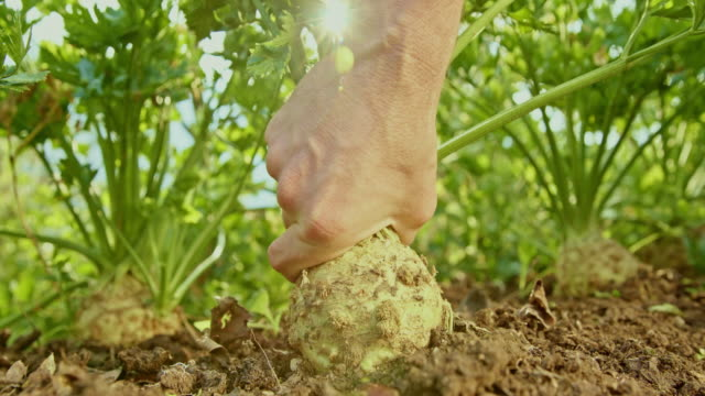 vídeos de stock e filmes b-roll de male hand picking a celeriac from the garden soil - levantar