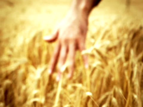 Male Hand Touching Barley