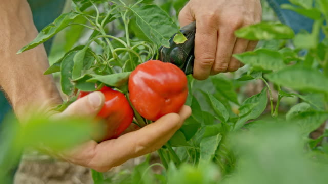 male hands harvesting peppers in the garden - pepper vegetable stock videos & royalty-free footage