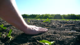 Male hands of farmer gently touching dry soil and pouring it back through his fingers on the field with small green sprouts of sunflower.