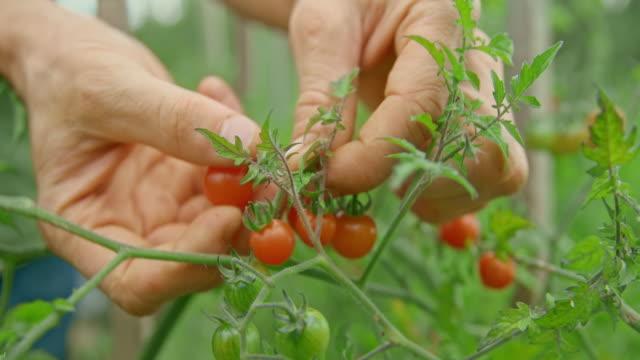 vidéos et rushes de mains mâles ramassant des tomates de cerise du jardin - cueillir
