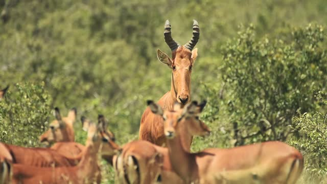 male hartebeest looking around near many females, in the kenyan bush, africa - herbivorous stock videos & royalty-free footage