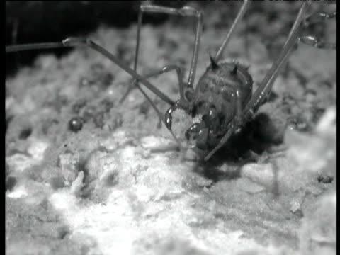 male harvestman tends to his nest - menschliche gliedmaßen stock-videos und b-roll-filmmaterial