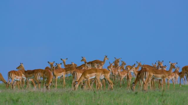 Male Herds Female Impalas On Mound Maasai Mara, Kenya, Africa