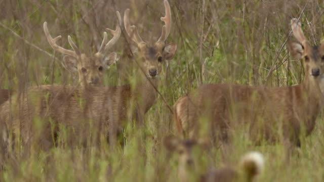 male hog deer - herbivorous stock videos & royalty-free footage