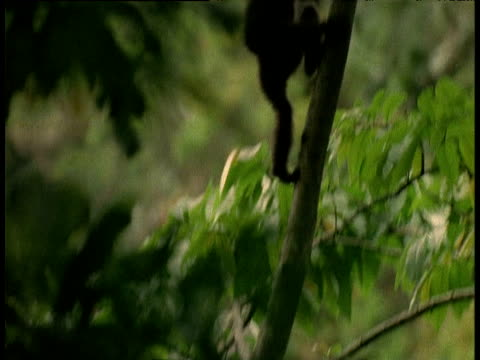 Male Hoolock gibbon leaps onto branch and climbs up tree, Assam