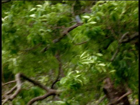 stockvideo's en b-roll-footage met male hoolock gibbon swings through forest from branch to branch, arunachal pradesh - plant attribute