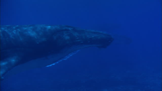 Male Humpback Whale escorting the female