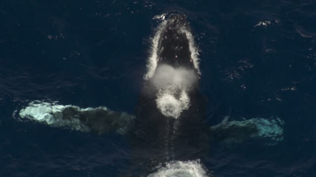 male humpback whales clash during heat run, hawaii - wal stock-videos und b-roll-filmmaterial
