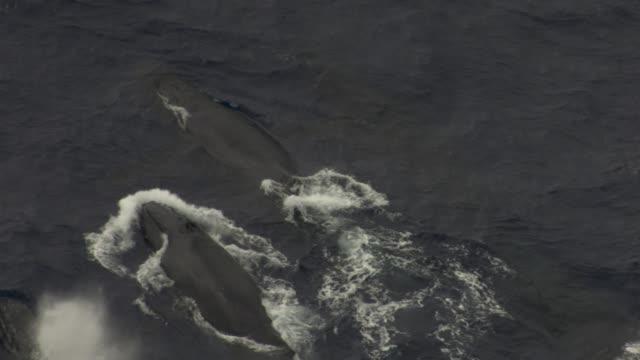 Male humpback whales pursue female during heat run, Hawaii
