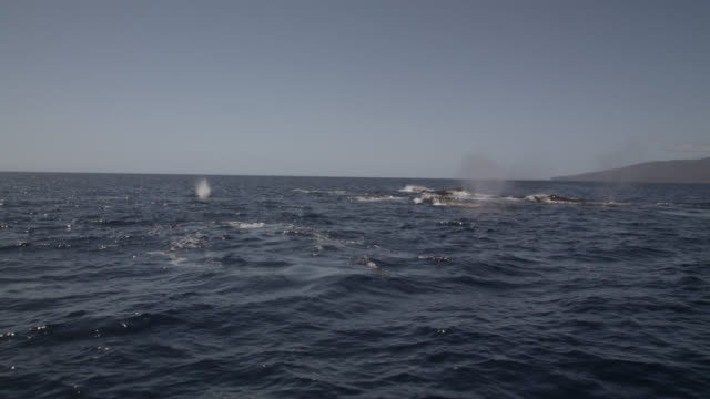 male humpback whales pursue female - male animal stock videos & royalty-free footage