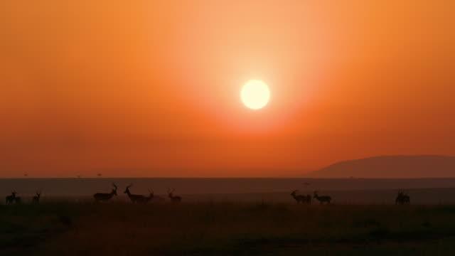 Male Impala At Sunrise Maasai Mara, Kenya, Africa