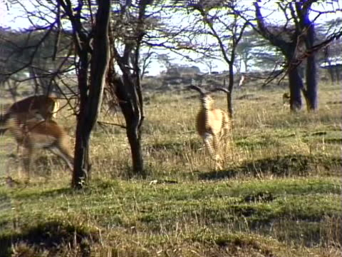 male impala chasing a female - herbivorous stock videos & royalty-free footage