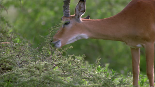a male impala with large antlers grazes in serengeti national park. - antilope stock-videos und b-roll-filmmaterial