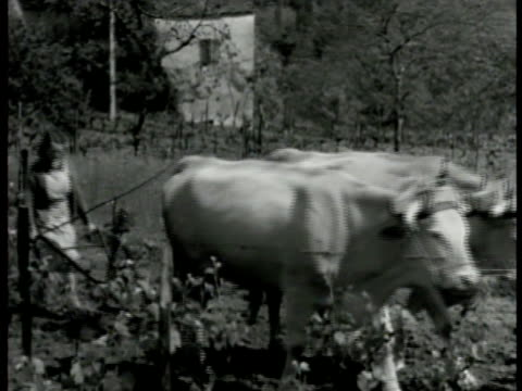 stockvideo's en b-roll-footage met male in field leading oxen w/ woman guiding plow behind. oxen pulling small plow w/ boy guiding. dusk / dawn: woman, almost in silhouette, shoveling... - werkdier
