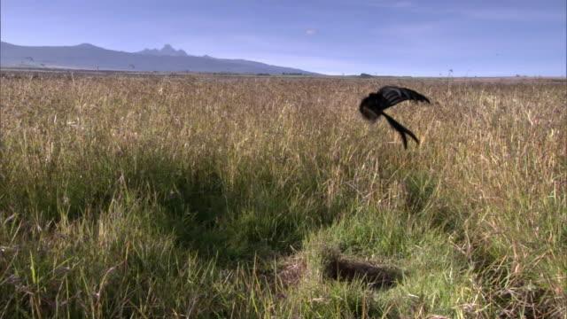 stockvideo's en b-roll-footage met male jackson's widowbird (euplectes jacksoni) performs courtship display for female, kenya - parende dieren