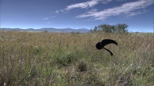 male jackson's widowbird (euplectes jacksoni) performs courtship display, kenya - jumping stock videos & royalty-free footage