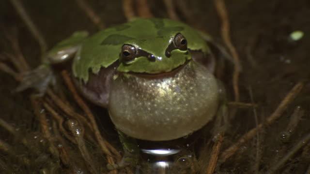 vídeos y material grabado en eventos de stock de male japanese tree frog calling - rana