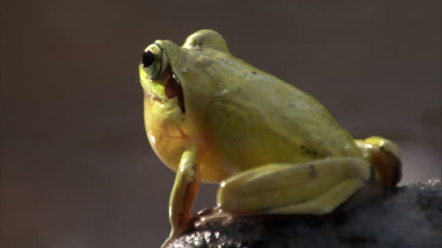 "stockvideo's en b-roll-footage met male jumping frog (aglyptodactylus) calls by pool, madagascar - ""bbc natural history"""