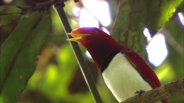 stockvideo's en b-roll-footage met a male king bird-of-paradise in papua new guinea calls the mate - documentairebeeld