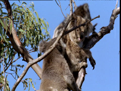 male koala approaches female with cub and tries to force her to mate, victoria - human copulation stock videos and b-roll footage
