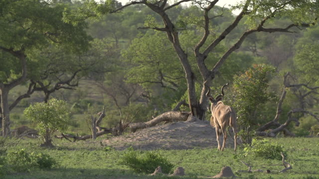 A male kudu walks across a clearing under an expanse of sky with short green grass in Kruger National Park, South Africa