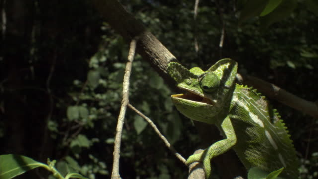Male Labord's chameleon (Furcifer labordi) climbs along branch, Madagascar