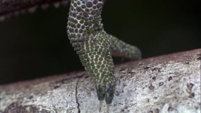 male labord's chameleon (furcifer labordi) lifts foot from branch, madagascar - 動物の色点の映像素材/bロール