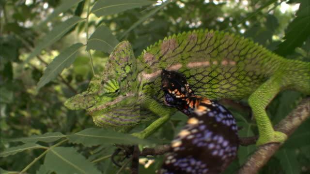 vidéos et rushes de male labord's chameleon (furcifer labordi) pursues angry female, madagascar - caméléon