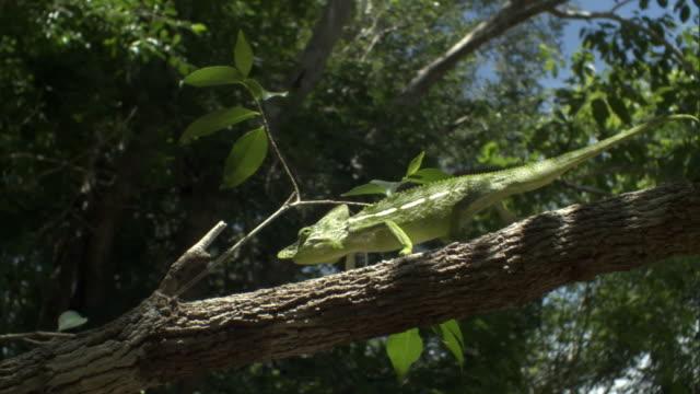Male Labord's chameleon (Furcifer labordi) sways along branch, Madagascar