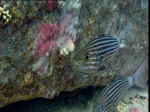 male largetooth cardinalfish mouth brooding eggs, red sea - aquatic organism stock videos & royalty-free footage