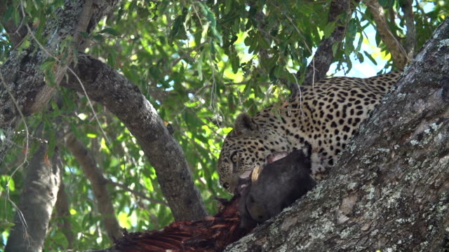 Male leopard feeds on warthog kill in branches of jackalberry tree , Kruger National Park, South Africa