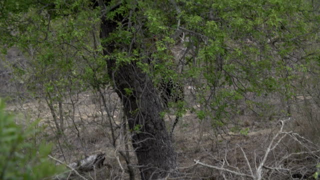 slo mo male leopard snarling at female at dusk with eyes reflecting, kruger national park, south africa - ヒョウ点の映像素材/bロール