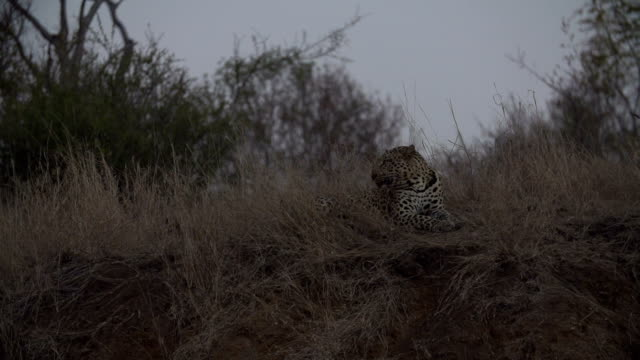 SLO MO male leopard turning head to female as she approaches, Kruger National Park, South Africa