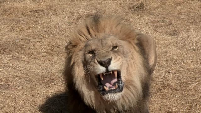 a male lion aggressively snarls and charges. - aggression stock videos & royalty-free footage